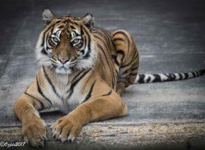 CSP_ZooFoc_tiger022017-9785