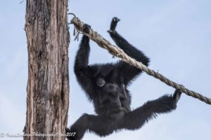 SiamangBub_flying30042017-8714