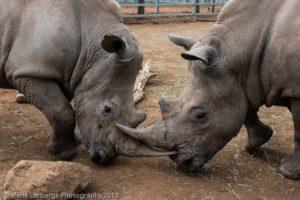 Rhinos_2015
