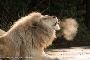 LionSteam