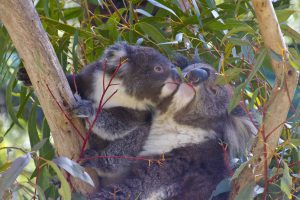 PeterHoad_smooching koalas