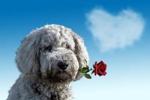 valentines-dayDOG