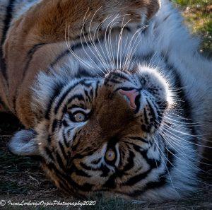 TigerCU_-72020-0334
